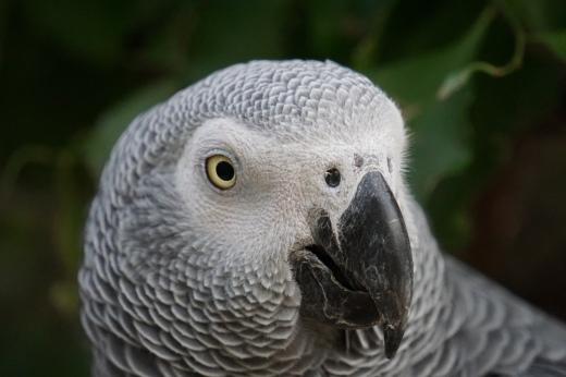 Timneh Grey Parrot