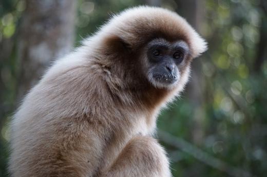 White-handed or Lar Gibbon