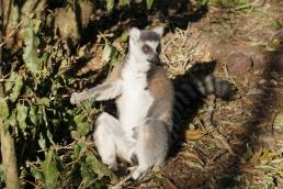 Ring-tail Lemur