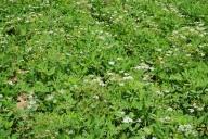 Sesame seed plants