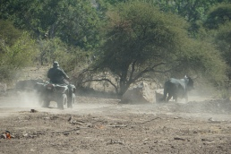 Chasing cattle back to Zimbabwe
