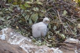 Two week old black Eagle