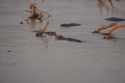 Hippos everywhere