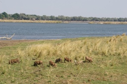 Warthogs kneeling as they eat