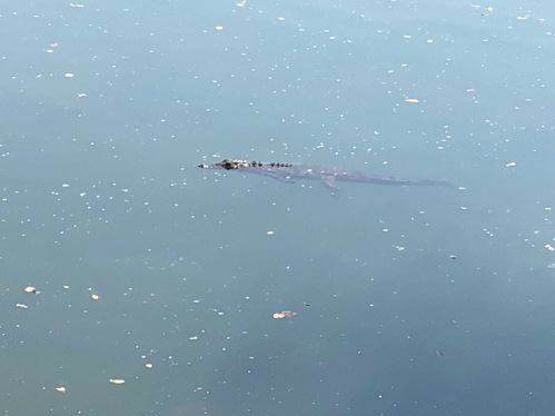 The local crocs
