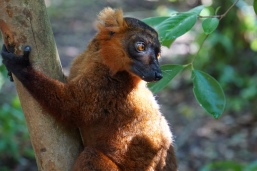 Black/Crowned Lemur hybrid