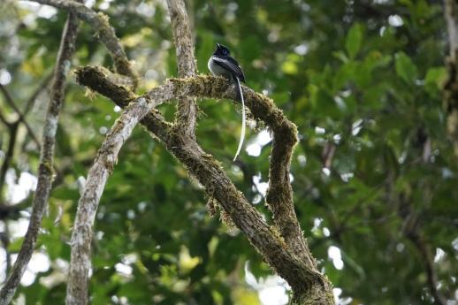 Madagascar flycatcher